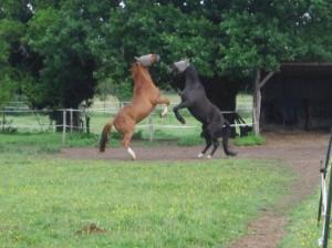 pension cheval poney pré avec abris